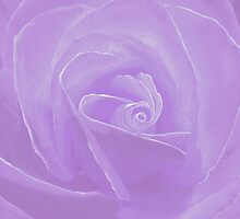 Lavender Rose Micro by Cindy Longhini
