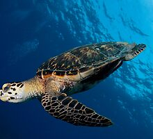 Hawksbill Free-dive Closeup by Todd Krebs