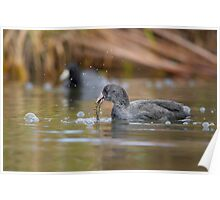 Feeding Coots Poster
