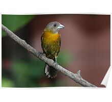 Scarlet-rumped Tanager (female) Poster