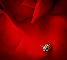 Ladybird In Rose by Silken Photography