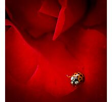 Ladybird In Rose Photographic Print