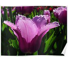 Fringed Tulip Poster