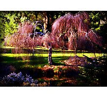 Cherry blossoms in spring -Van Dusen Botanical gardens Photographic Print