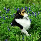 &#x27;Spirit&#x27; amongst the Bluebonnets by Charmiene Maxwell-batten