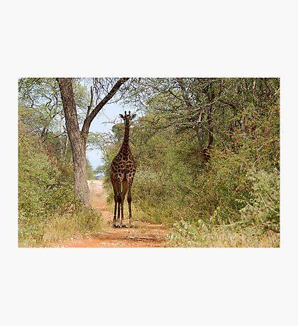 CAN I HELP, ARE YOU LOST? - GIRAFFE – Giraffa camelopardalis Photographic Print