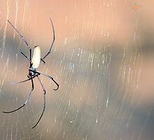 Golden Orb Spider by Erik Holt