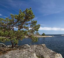 Pine tree on the rocks. by cloud7