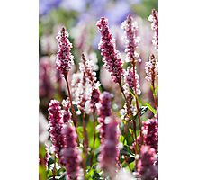 persicaria flowers Photographic Print