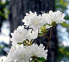 White Azaleas by Scott Mitchell