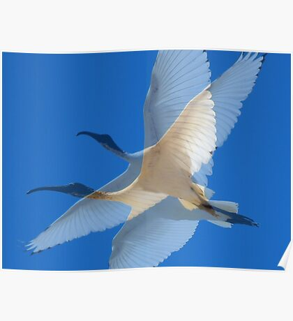 Collage of Sacred Ibis in Flight Poster