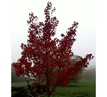 red flowered tree in autumn  Photographic Print