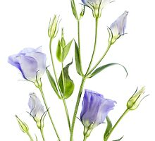 Lisianthus by Mandy Disher