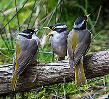 Strong Billed Honey eater Family portrait  by Ron Co