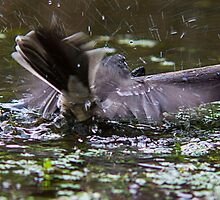 Grey Fantail bathing at the pond  by Ron Co