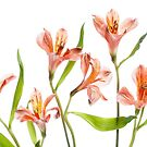 Alstroemeria by Mandy Disher