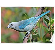 Blue Tanager Poster
