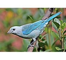 Blue Tanager Photographic Print