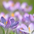 The Crocus Patch. by relayer51