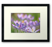 The Crocus Patch. Framed Print