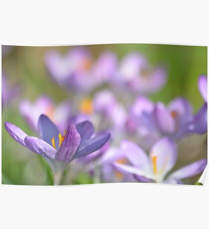 The Crocus Patch. Poster