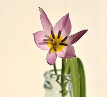 spring starflower by Iris Lehnhardt