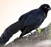 Great Tailed Grackle by Dennis Cheeseman