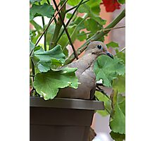 Dove in Pot Photographic Print
