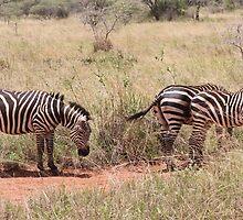 Zebras by Ben Fatma Marc
