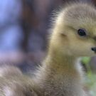 Gosling by Betsy  Seeton