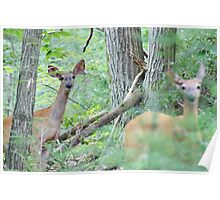 White Tailed Deer Poster