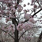Cherry Blossoms by Stephanie Mayberry