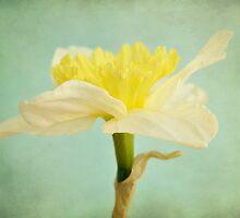 daffodil by Iris Lehnhardt