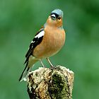 Male Chaffinch by Russell Couch
