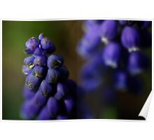 Grape hyacinth close up Poster
