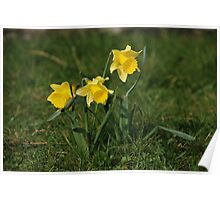 Daffodils in the sun Poster