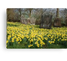 Daffodils by the old yard Canvas Print