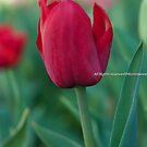 Tulip by Kornrawiee