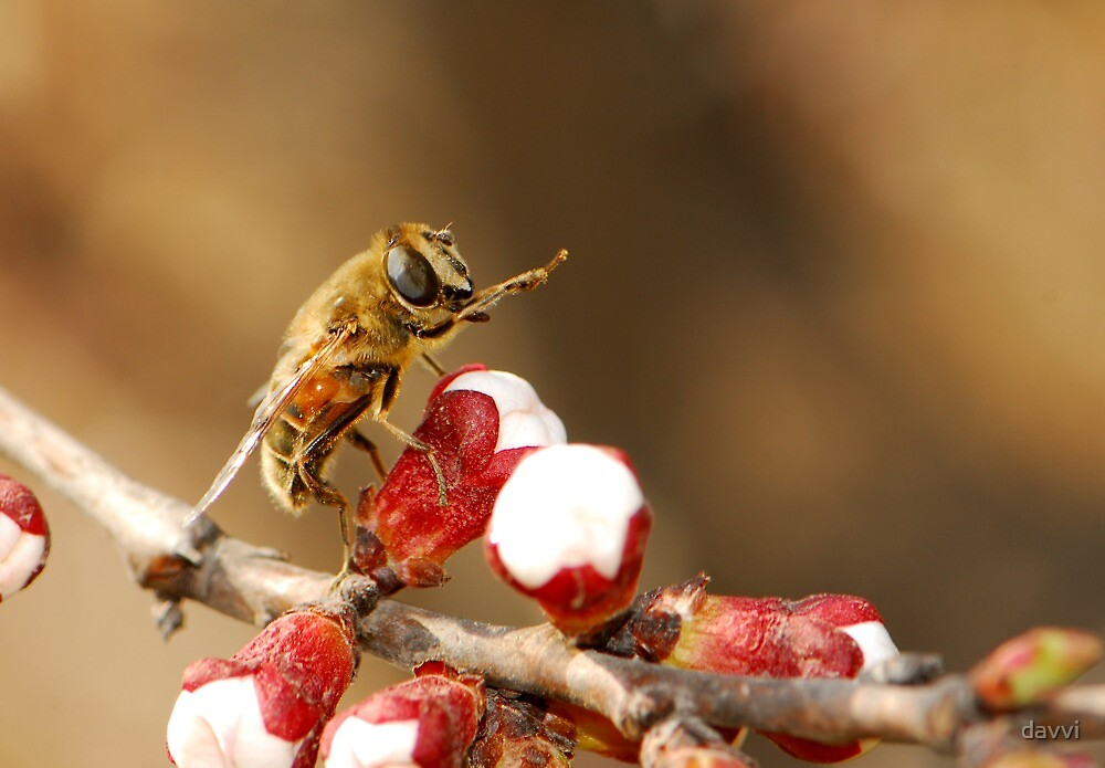 hoverfly with apricot blossom by davvi