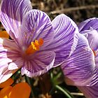 Winking Crocus by MarianBendeth