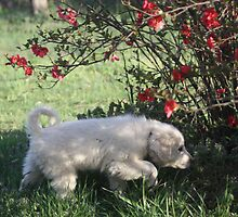 Torro Under The Quince Bush by goldnzrule