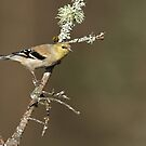 American Goldfinch on Lichen Covered Branch by Bill McMullen