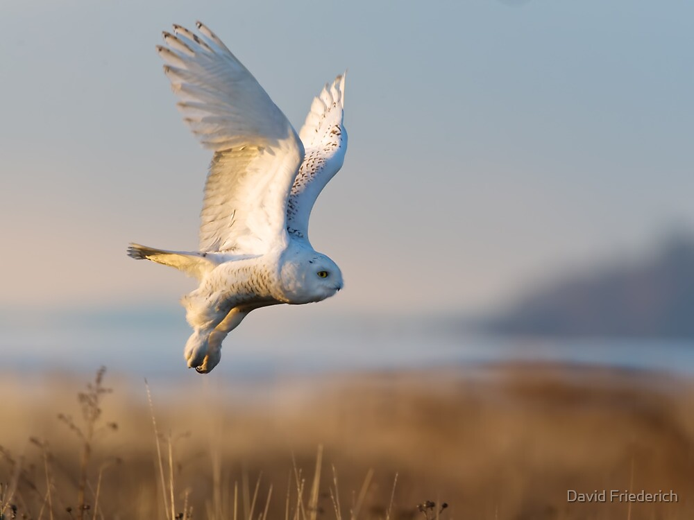 A Snowy Owl Takes an Early Morning Flight by David Friederich