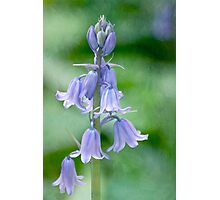 Bluebells in a painterly style Photographic Print