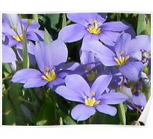 Beautiful Blue-Eyed Grass Poster
