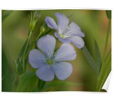 Markings of the Blue Flax Flower Poster