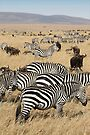 Zebra Migration, Maasai Mara, Kenya by Carole-Anne
