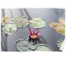 Water Lily at Nyungwe Forest Lodge Poster