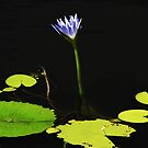Water Lily by Noel Elliot