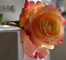 A beautiful rose in the moning sun by Nicole W.